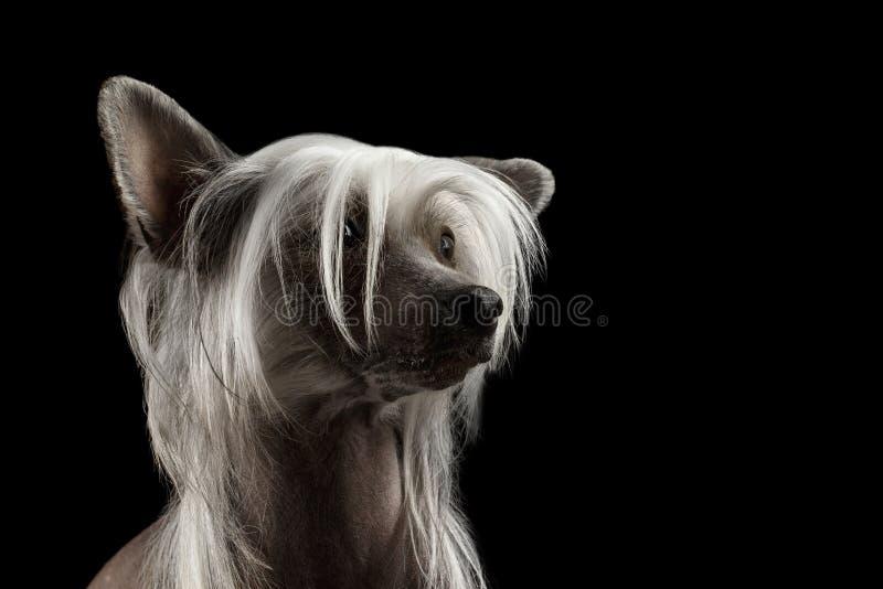 Κινεζικό λοφιοφόρο σκυλί κινηματογραφήσεων σε πρώτο πλάνο που ανατρέχει, απομονωμένο μαύρο υπόβαθρο στοκ φωτογραφία με δικαίωμα ελεύθερης χρήσης