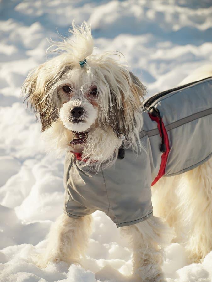 Κινεζικό λοφιοφόρο σκυλί στα ενδύματα στο χιόνι στοκ φωτογραφίες με δικαίωμα ελεύθερης χρήσης