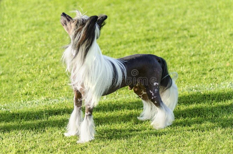 Κινεζικό λοφιοφόρο σκυλί στοκ φωτογραφία