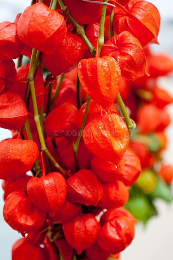 κινεζικό φανάρι κερασιών &kappa στοκ εικόνες