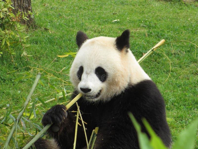 κινεζικό panda στοκ εικόνες