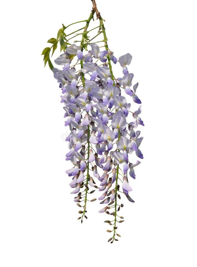 Κινεζικό wisteria (sinensis Wisteria) στοκ φωτογραφίες