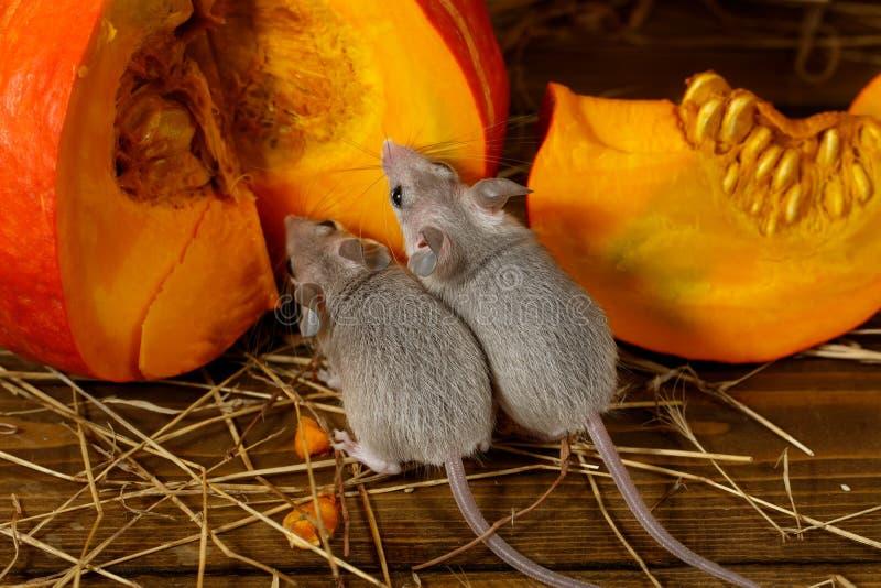 Κινηματογράφηση σε πρώτο πλάνο δύο νέα γκρίζα ποντίκια κοντά στην πορτοκαλιά κολοκύθα στην αποθήκη εμπορευμάτων στοκ εικόνες