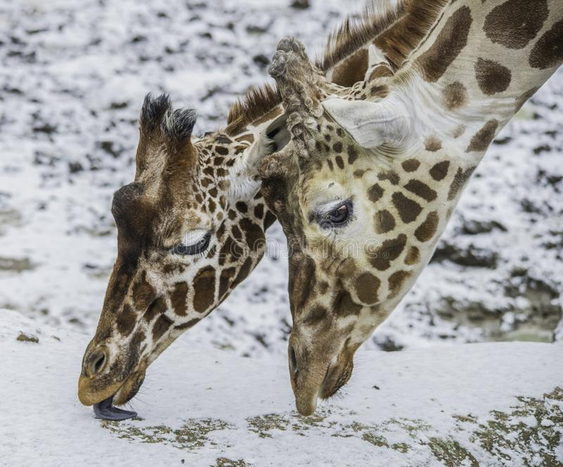 Κινηματογράφηση σε πρώτο πλάνο δύο giraffes που τρώνε το χιόνι στοκ εικόνα με δικαίωμα ελεύθερης χρήσης