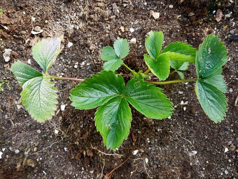 Κινηματογράφηση σε πρώτο πλάνο εγκαταστάσεων φραουλών Φρέσκα πράσινα φύλλα στον κήπο στοκ εικόνα