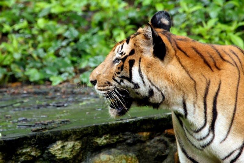 Κινηματογράφηση σε πρώτο πλάνο ενός ασιατικού προσώπου τιγρών στοκ εικόνες