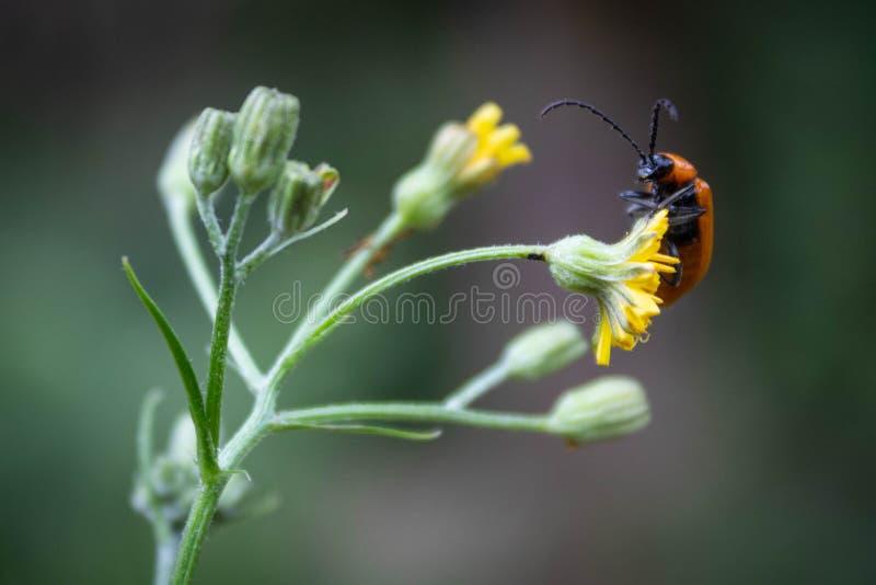 Κινηματογράφηση σε πρώτο πλάνο ενός ζωύφιου σε ένα λουλούδι στοκ εικόνα