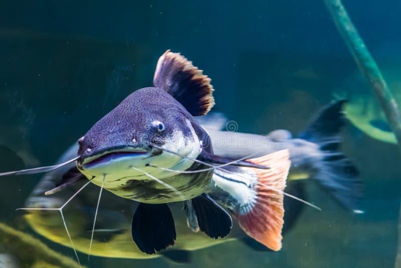 Κινηματογράφηση σε πρώτο πλάνο ενός κόκκινου ψαριού γατών ουρών, μεγάλα τροπικά ψάρια από τη λεκάνη της Αμαζώνας της Αμερικής στοκ φωτογραφία με δικαίωμα ελεύθερης χρήσης