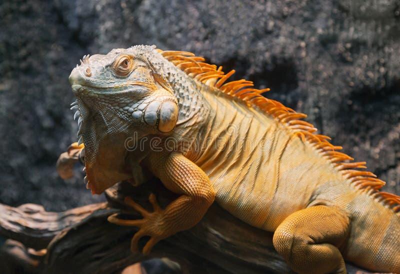 Κινηματογράφηση σε πρώτο πλάνο ενός κόκκινου iguana στοκ φωτογραφίες