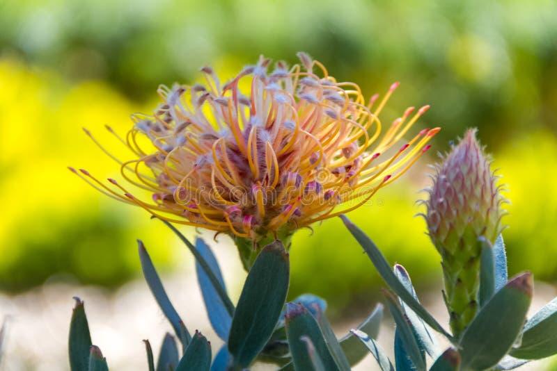 Κινηματογράφηση σε πρώτο πλάνο ενός λουλουδιού Leucospermum γνωστού επίσης ως pincushion- ασβεστόλιθων ένας ντόπιος της Νότιας Αφ στοκ φωτογραφίες