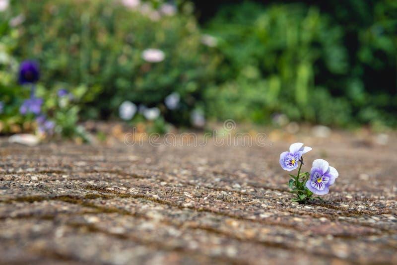 Κινηματογράφηση σε πρώτο πλάνο ενός μικρού ανθίσματος pansy μεταξύ των πετρών ενός πεζουλιού στοκ εικόνες