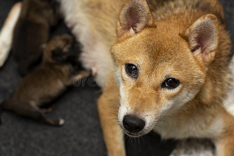 Κινηματογράφηση σε πρώτο πλάνο ενός νεογέννητου κουταβιού Shiba Inu Ιαπωνικό σκυλί Shiba Inu Όμορφο χρώμα κουταβιών inu shiba καφ στοκ φωτογραφία με δικαίωμα ελεύθερης χρήσης