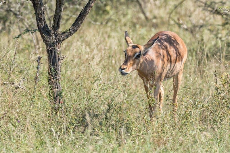 Κινηματογράφηση σε πρώτο πλάνο ενός περπατήματος προβατίνων impala στοκ εικόνες με δικαίωμα ελεύθερης χρήσης