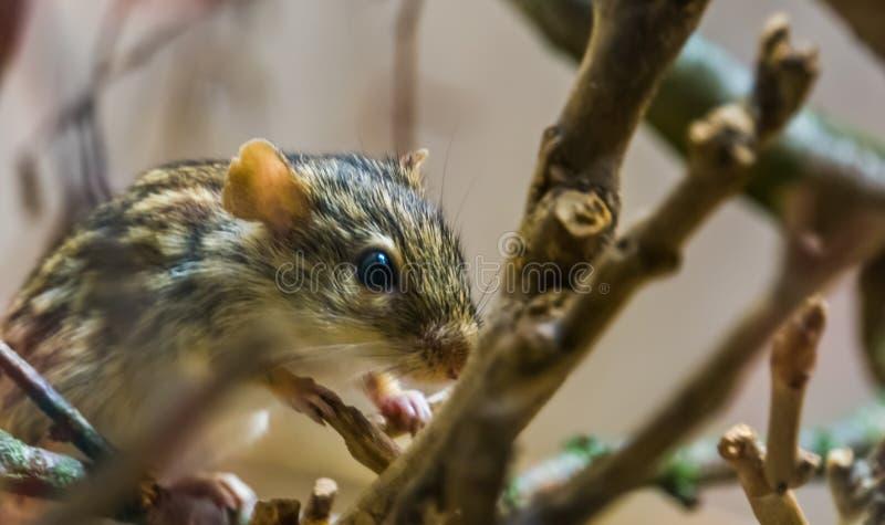 Κινηματογράφηση σε πρώτο πλάνο ενός ριγωτού ποντικιού χλόης Βαρβαρίας, τροπικό τρωκτικό από την Αφρική, δημοφιλές κατοικίδιο ζώο στοκ εικόνα