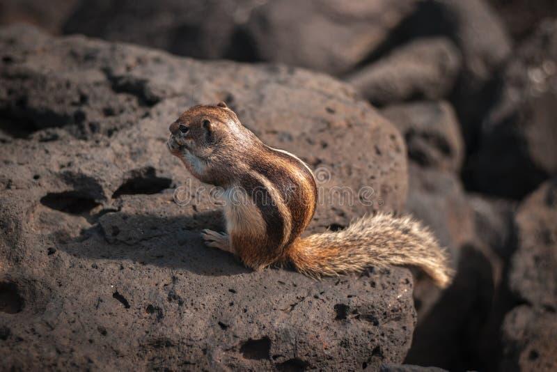 Κινηματογράφηση σε πρώτο πλάνο ενός χαριτωμένου άγριου σκιούρου που τρώει κάτι σε έναν βράχο στοκ εικόνες με δικαίωμα ελεύθερης χρήσης