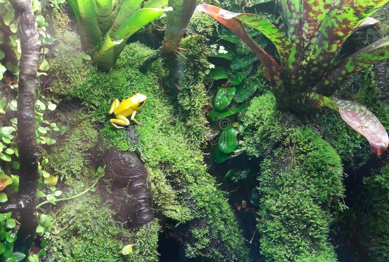 Κινηματογράφηση σε πρώτο πλάνο ενός χρυσού βατράχου δηλητήριων σε ένα φύλλο στη ζούγκλα στοκ εικόνες