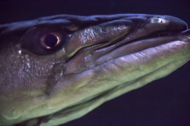 Κινηματογράφηση σε πρώτο πλάνο ενός barracuda στο απόκρυφο ενυδρείο στο απόκρυφο Κοννέκτικατ στοκ εικόνες με δικαίωμα ελεύθερης χρήσης