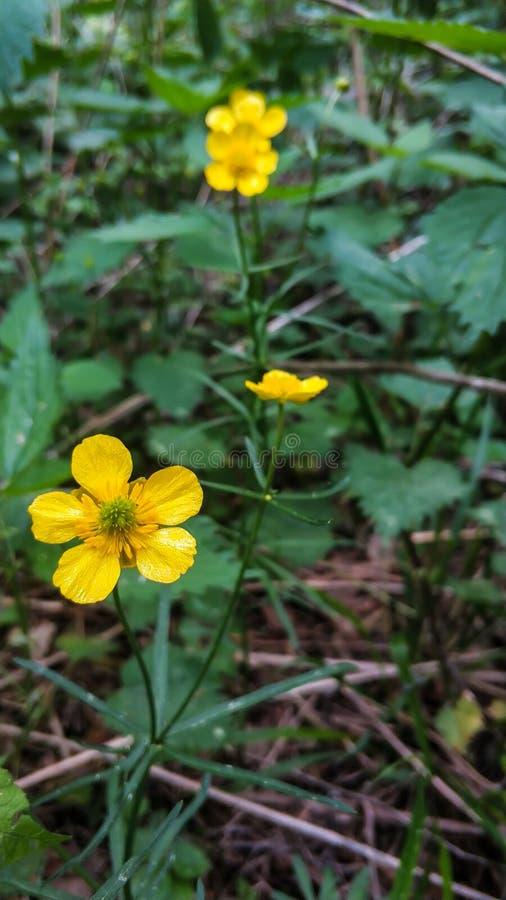 Κινηματογράφηση σε πρώτο πλάνο κίτρινων λουλουδιών των κοινών νεραγκουλών στα δάση στο πράσινο υπόβαθρο χλόης Acris βατραχίων στοκ εικόνα