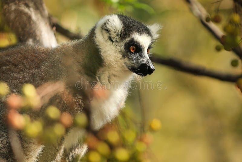 Κινηματογράφηση σε πρώτο πλάνο κερκοπιθήκων στη Μαδαγασκάρη στοκ εικόνα με δικαίωμα ελεύθερης χρήσης