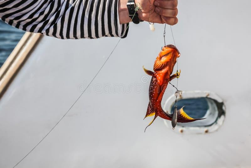 Κινηματογράφηση σε πρώτο πλάνο κόκκινο grouper κοραλλιών στα χέρια ενός ψαρά στοκ εικόνες