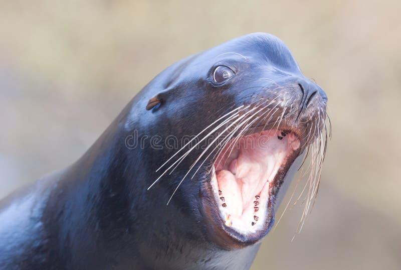 Κινηματογράφηση σε πρώτο πλάνο λιονταριών θάλασσας στοκ φωτογραφίες