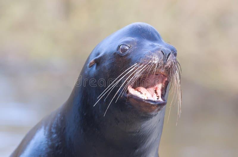 Κινηματογράφηση σε πρώτο πλάνο λιονταριών θάλασσας στοκ φωτογραφία με δικαίωμα ελεύθερης χρήσης