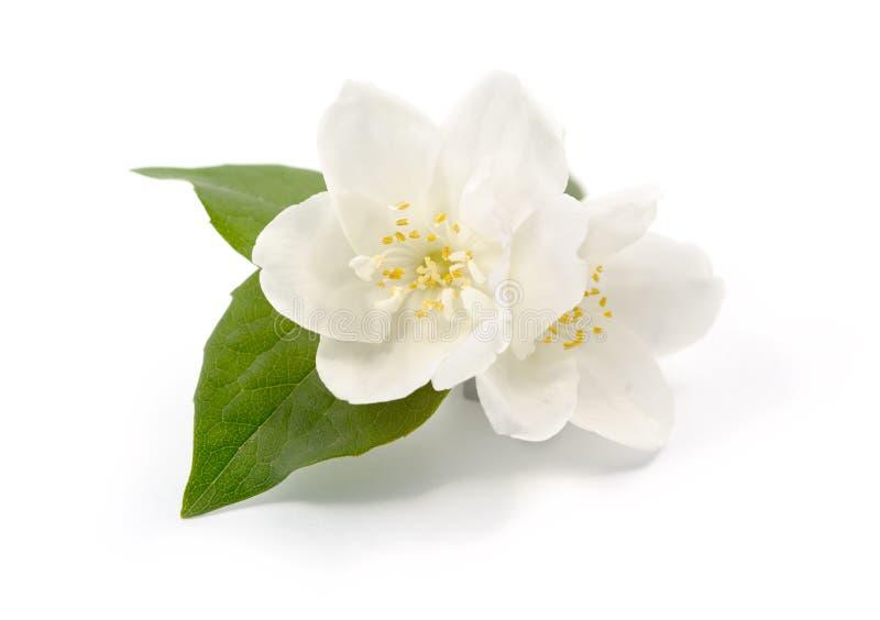 Κινηματογράφηση σε πρώτο πλάνο λουλουδιών της Jasmine στοκ φωτογραφίες