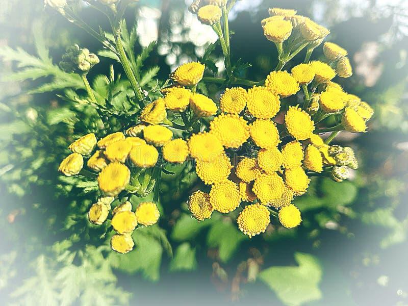 Κινηματογράφηση σε πρώτο πλάνο λουλουδιών Tansy στοκ φωτογραφία με δικαίωμα ελεύθερης χρήσης