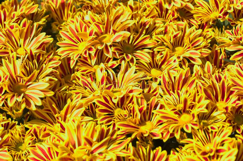 Κινηματογράφηση σε πρώτο πλάνο μερικών κίτρινων μαργαριτών με τα κοκκινωπά λωρίδες στοκ εικόνα