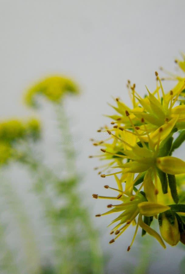 Κινηματογράφηση σε πρώτο πλάνο μερικών μικρών κίτρινων λουλουδιών με το πράσινο και άσπρο υπόβαθρο στοκ εικόνες με δικαίωμα ελεύθερης χρήσης