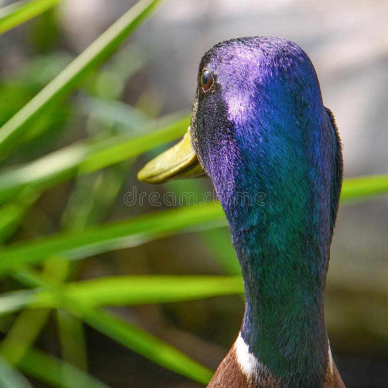 Κινηματογράφηση σε πρώτο πλάνο με τη μεγάλη λεπτομέρεια ενός αρσενικού πίσω μέρους παπιών πρασινολαιμών του ιριδίζοντος πράσινου  στοκ εικόνες