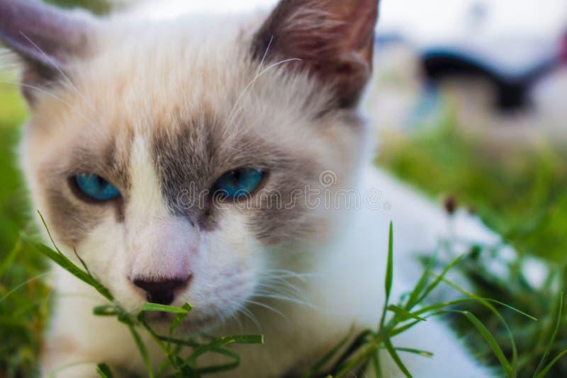 Κινηματογράφηση σε πρώτο πλάνο μιας εσωτερικής χαριτωμένης γάτας με τα όμορφα μπλε μάτια που βάζουν στη χλόη στοκ φωτογραφία με δικαίωμα ελεύθερης χρήσης