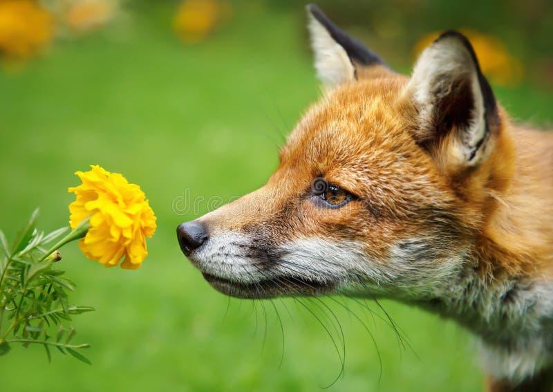 Κινηματογράφηση σε πρώτο πλάνο μιας κόκκινης αλεπούς που μυρίζει το λουλούδι στοκ εικόνα