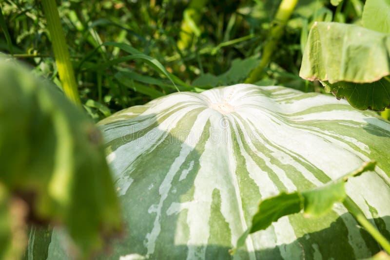 Κινηματογράφηση σε πρώτο πλάνο μιας μεγάλης πράσινης κολοκύθας στον κήπο στοκ εικόνες