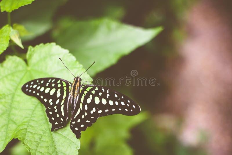 Κινηματογράφηση σε πρώτο πλάνο μιας παρακολουθημένου jay πεταλούδας ή ενός graphium agamemnon στοκ φωτογραφίες