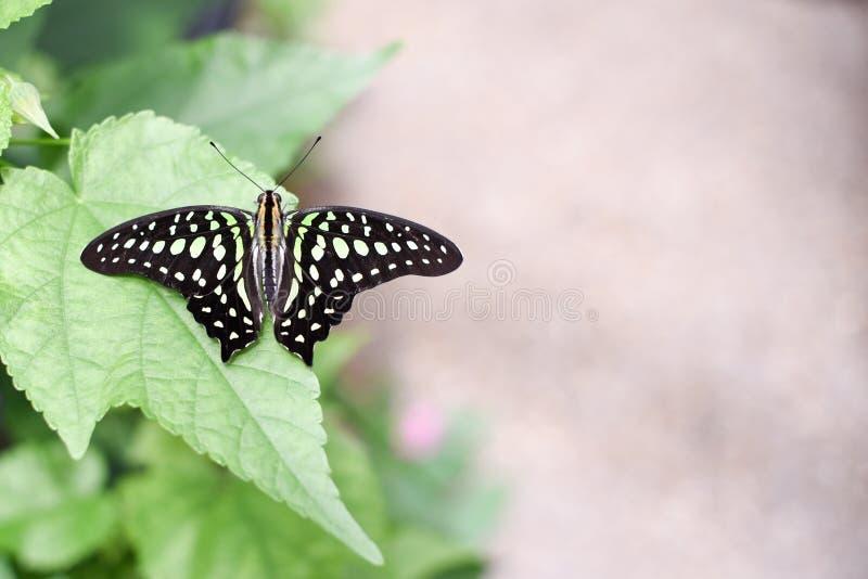 Κινηματογράφηση σε πρώτο πλάνο μιας παρακολουθημένου jay πεταλούδας ή ενός graphium agamemnon στοκ εικόνες