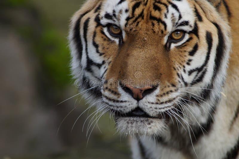 Κινηματογράφηση σε πρώτο πλάνο μιας όμορφης σπάνιας τίγρης Amur στοκ εικόνες