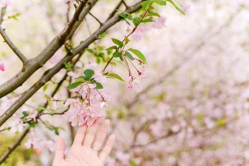 Κινηματογράφηση σε πρώτο πλάνο ξύλων Sakura στοκ εικόνα