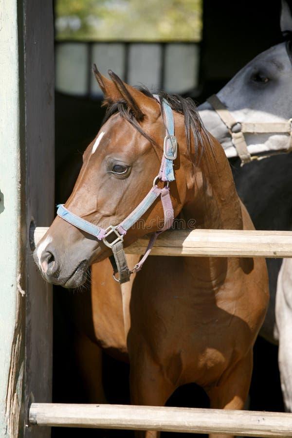 Κινηματογράφηση σε πρώτο πλάνο πορτρέτου ενός thoroughbred αλόγου στην πόρτα σιταποθηκών στοκ φωτογραφία με δικαίωμα ελεύθερης χρήσης