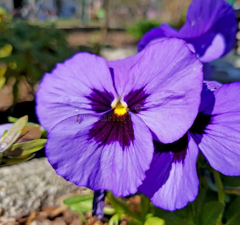 Κινηματογράφηση σε πρώτο πλάνο πορφυρού pansy Όμορφο λουλούδι Λουλούδια κήπων στοκ εικόνες