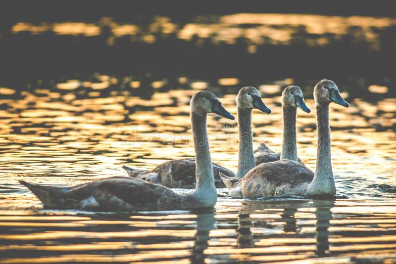 Κινηματογράφηση σε πρώτο πλάνο πουλιών στη λίμνη στοκ φωτογραφία