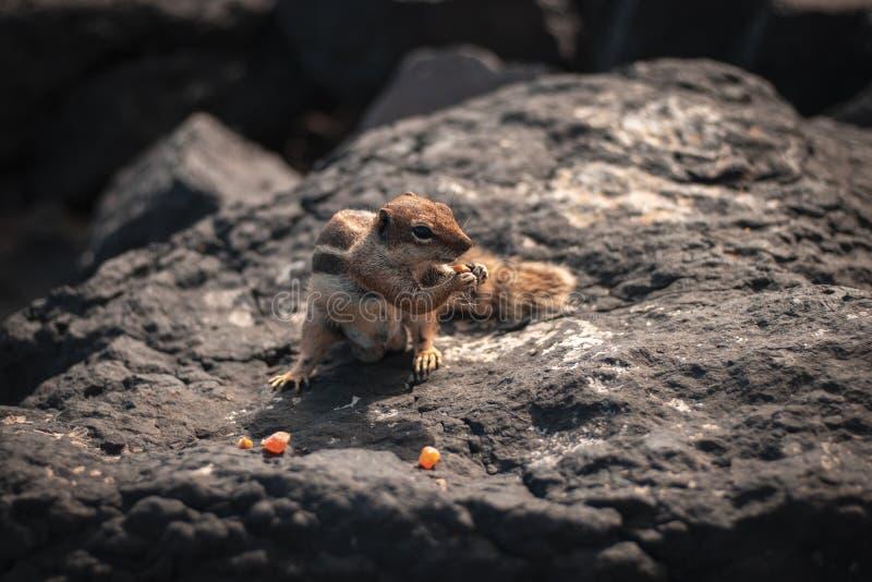 Κινηματογράφηση σε πρώτο πλάνο που βλασταίνεται ενός όμορφου χαριτωμένου σκιούρου που τρώει το καλαμπόκι σε έναν βράχο στοκ εικόνες