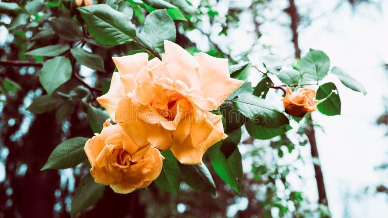 Κινηματογράφηση σε πρώτο πλάνο που βλασταίνεται των πορτοκαλιών ροδαλών λουλουδιών στον κήπο ενάντια στον ουρανό στοκ φωτογραφίες