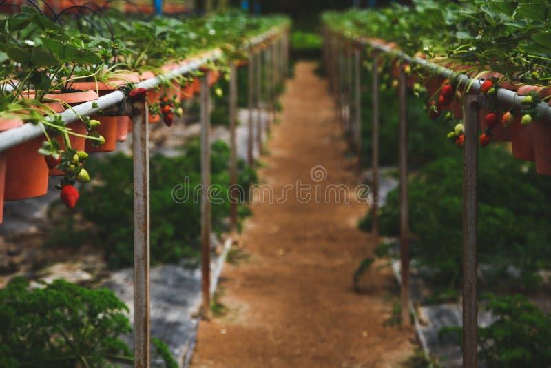 κινηματογράφηση σε πρώτο πλάνο που βλασταίνεται των φραουλών που αυξάνονται στους πίνακες στοκ εικόνα