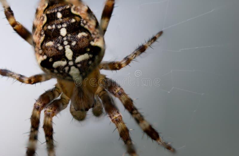 Κινηματογράφηση σε πρώτο πλάνο της ευρωπαϊκής αράχνης κήπων στο άσπρο γκρίζο κλίμα στοκ εικόνα