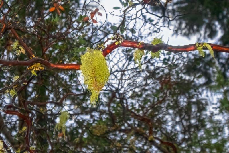 Κινηματογράφηση σε πρώτο πλάνο της ισπανικής ένωσης βρύου ή λειχήνων από τον κλάδο του δέντρου με το δασικό υπόβαθρο bokeh στοκ εικόνες