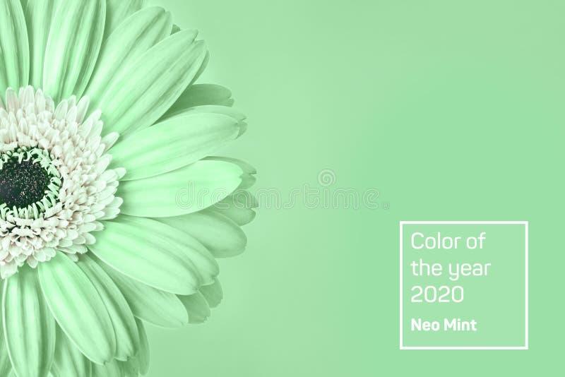 Κινηματογράφηση σε πρώτο πλάνο της καθιερώνουσας τη μόδα χρωματισμένης μέντα μαργαρίτας στο πράσινο υπόβαθρο στοκ εικόνα με δικαίωμα ελεύθερης χρήσης