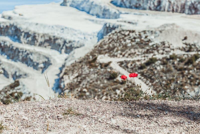 Κινηματογράφηση σε πρώτο πλάνο της κόκκινης ανάπτυξης παπαρουνών από το αμμοχάλικο στο υπόβαθρο βουνών χιονιού Η έννοια της ζωής  στοκ εικόνα με δικαίωμα ελεύθερης χρήσης