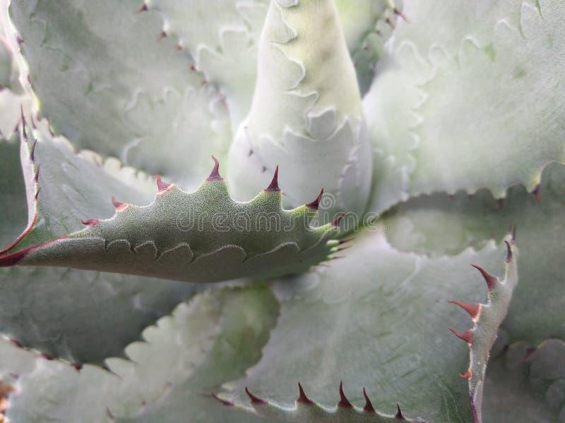 Κινηματογράφηση σε πρώτο πλάνο της λεπτομέρειας στα φύλλα αγαύης στοκ εικόνα με δικαίωμα ελεύθερης χρήσης