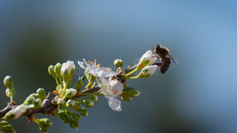 Κινηματογράφηση σε πρώτο πλάνο της μέλισσας πρηνής στο τέλος ενός κλάδου δαμάσκηνων πέρα από τα άσπρα άνθη δαμάσκηνων στοκ φωτογραφία με δικαίωμα ελεύθερης χρήσης